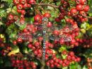 Migrant Hawker & Hawthorn berries