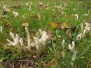 Wrinkled Club fungi