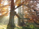 Beech trees and shafts of morning light