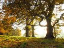Autumn light and Oak trees