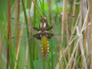 Emergent Broad Bodied Chaser