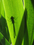 Large Red damselfly sillhouetted on Iris leaf