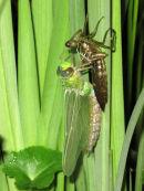 Emergent Emperor dragonfly