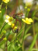 Large Red damselflies mating
