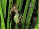 Emerging Emperor dragonfly