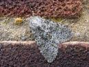 Large Ranunculus moth