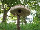 Parasol fungi