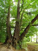 Massive Lime tree
