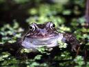 Smiling frog