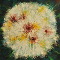 20092-Dandelion Metamorphoses