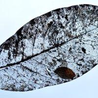Lace leaf