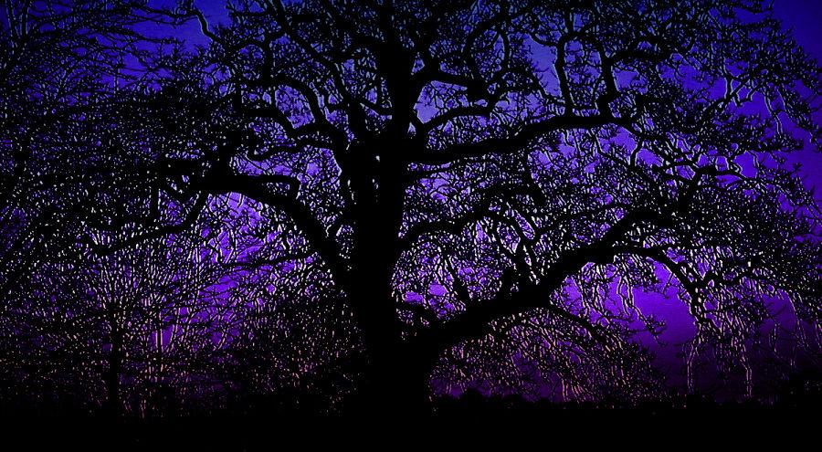 Puple Oak