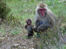 Snow monkey and baby