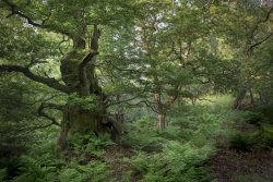 The Old Oak in Spring