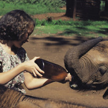 Bottle feeding a baby elephant