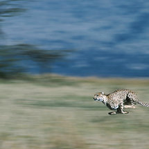 Cheetah at speed