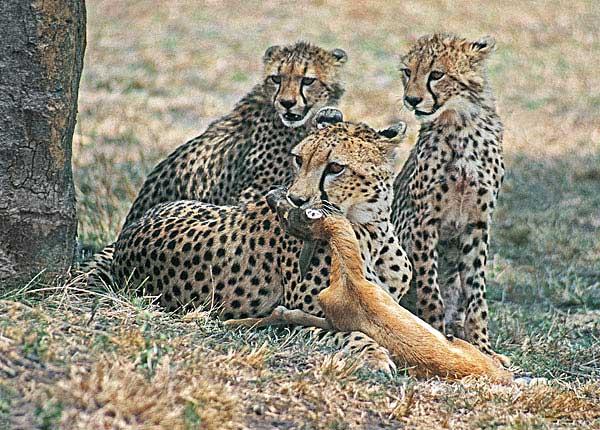 Cheetah instructs cubs