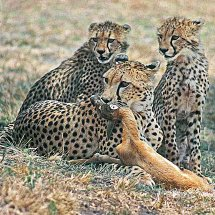 Cheetah instructs cubs