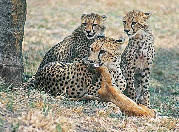 Cheetah teaching cubs