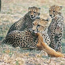 Cheetah teaching cubs