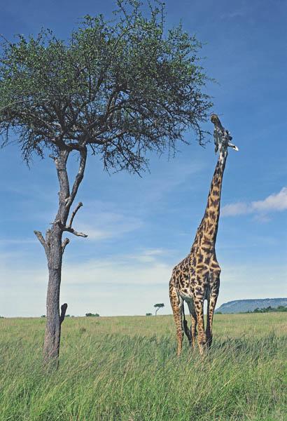 Common Giraffe browsing on Balanites tree