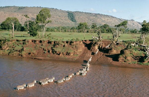 Common Zebra crossing the Mara River
