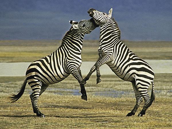 Common Zebra fighting