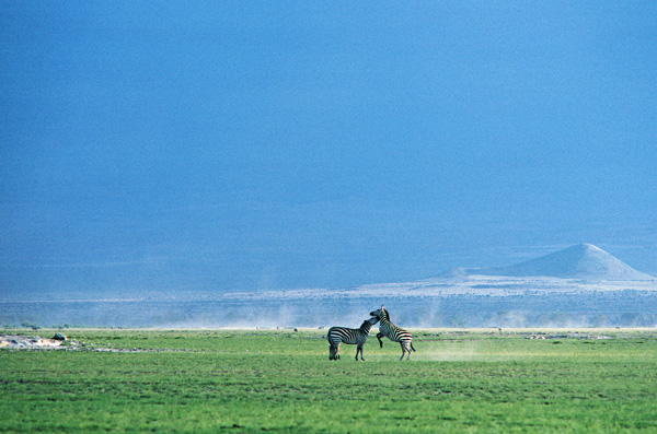 Common Zebra fighting in Amboseli