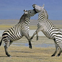 Common Zebra fighting