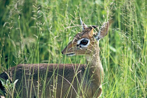 Dikdik antelope