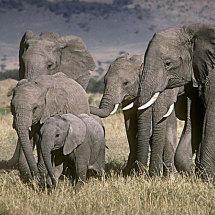 Elephant family Masai Mara Kenya