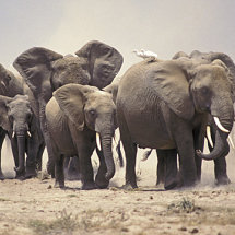 Elephants and Egrets