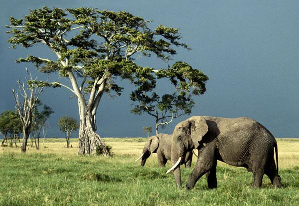 Elephants and Fig Tree