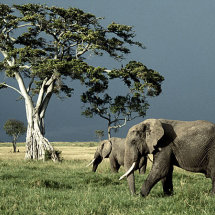 Elephants and stormy sky