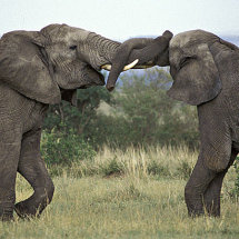Elephants fighting