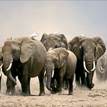 Elephants raising dust