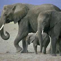 Elephants with baby