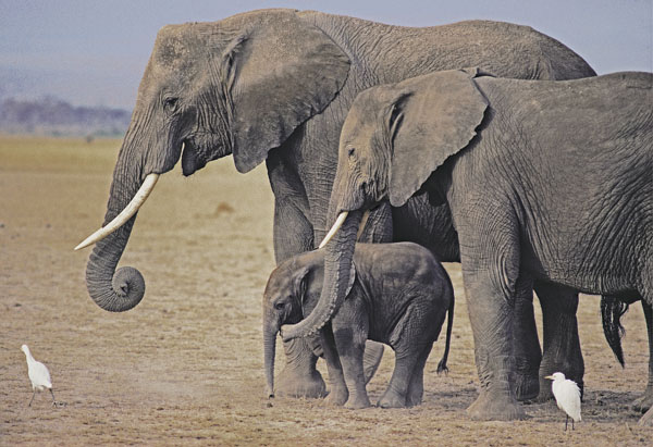 Female elephant with teenage daughter and baby