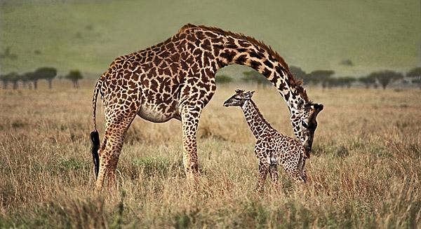 Giraffe cleaning new born