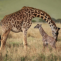 Giraffe cleaning new born