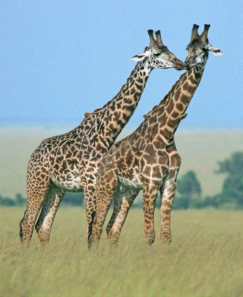 Giraffes greeting