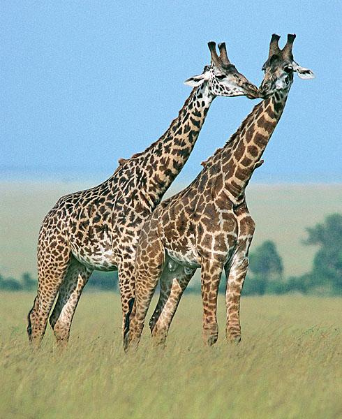 Giraffes greeting