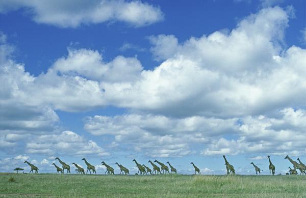 Herd of Common Giraffe