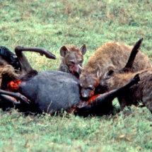 Hyenas disembowelling wildebeest