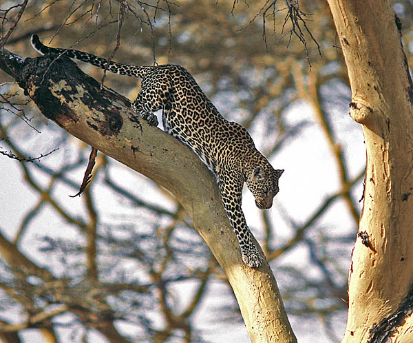 Leopard descending