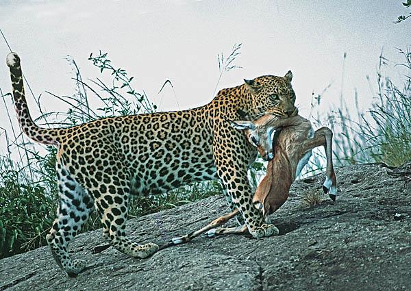 Leopard with Impala prey