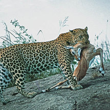 Leopard with Impala prey