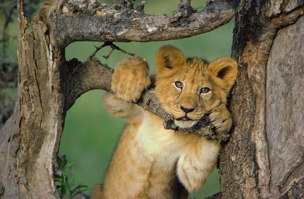 Lion cub in tree