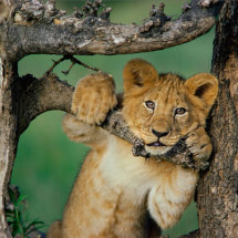 Lion cub in tree