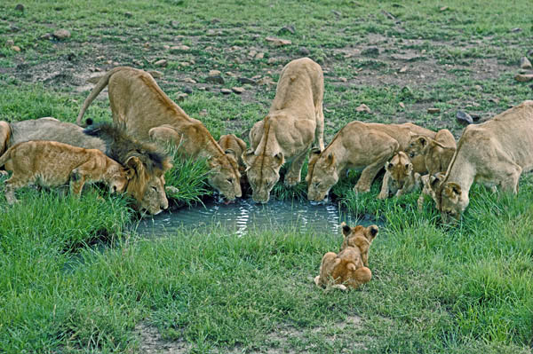 Lion pride drinking at a pool